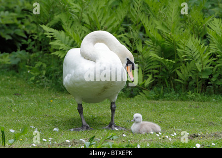 Mute Swan (Cygnus olor), parent bird resting on lake shore with cygnet, Germany - Stock Photo