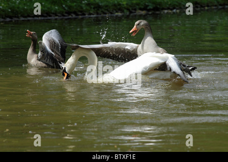 Greylag Goose (Anser anser), parent birds attacking and defending their gosling from aggressive Mute Swan (Cygnus - Stock Photo