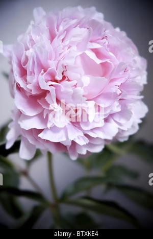 pink peony flower - Stock Photo