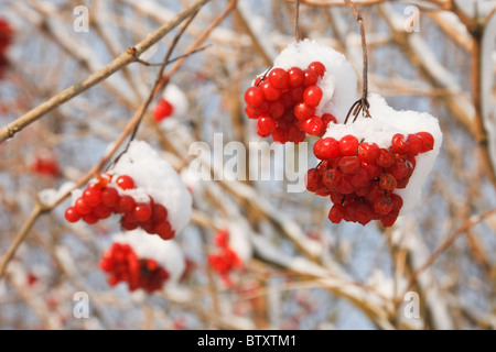 Red berries of Rowan tree or Mountain Ash (Sorbus aucuparia) with snow in winter. England UK Britain - Stock Photo