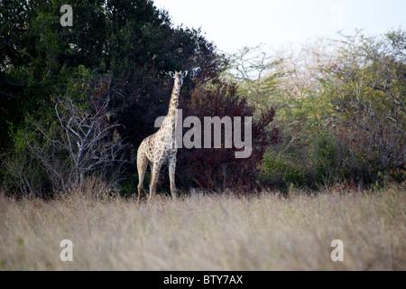 MAASAI GIRAFFE ( Giraffa camelopardalis tippelskirchi ) Saadani National Park Tanzania - Stock Photo