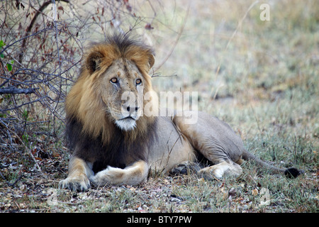 MALE AFRICAN LION ( Panthera Leo ) Saadani National Park Tanzania - Stock Photo