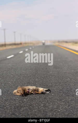 a bat eared fox is laying dead in the road after being killed by a car. - Stock Photo