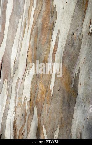 Bark of gum tree, Dunedin, Otago, South Island, New Zealand - Stock Photo