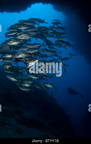 School of Bigeye Trevallies, Caranx sexfasciatus, at cave entrance, silhouette of diver in background, Sipadan, - Stock Photo