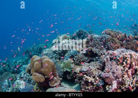 Large aggregation of Redfin Anthias, Pseudanthias dispar, on coral garden, Sipadan, Sabah, Malaysia - Stock Photo