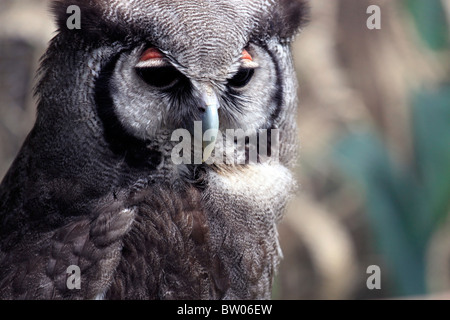 Verreaux's Eagle-owl,( Bubo lacteus );also known as the Milky Eagle Owl or Giant Eagle Owl, in World of Birds, Hout - Stock Photo
