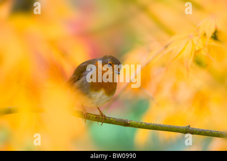 A Robin - Erithacus rubecula sitting on a branch in an Autumn coloured Acer tree - Japanese maple - Stock Photo
