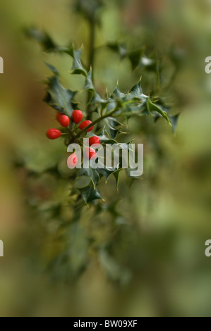 Common Holly with Red Winter Berries - Ilex Aquifolium - Stock Photo