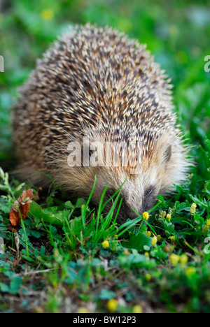 Close-up of Hedgehog (Erinaceus europaeus), Sweden - Stock Photo