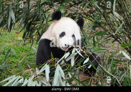 Giant Panda (Ailuropoda melanoleuca) eating Bamboo, Chengdu Panda Breeding Reserve, Sichuan province, China - Stock Photo