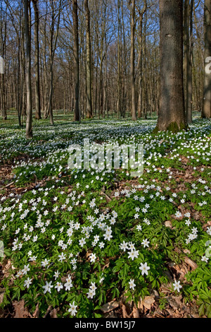 Wood anemones (Anemone nemorosa) flowering in spring forest - Stock Photo