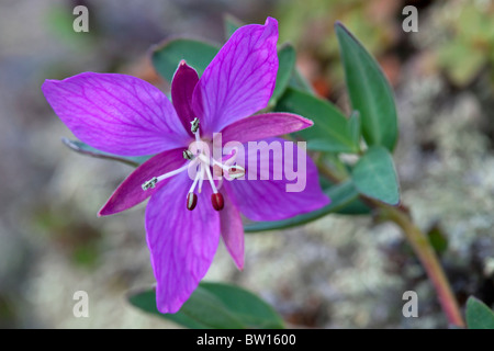 Dwarf fireweed (Chamaenerion latifolium / Chamerion latifolium / Epilobium latifolium), national flower of Greenland, - Stock Photo