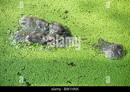 Close up of a wild American alligator on the surface of a swamp in the Atchafalaya National Wildlife Refuge, in - Stock Photo