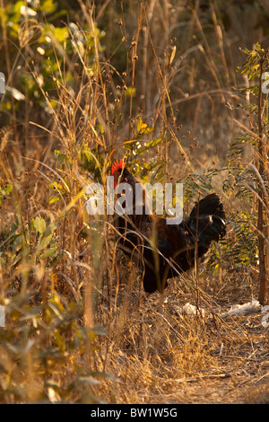 Rooster hides in the long grass in evening light, Zambia - Stock Photo