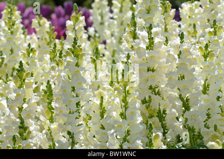 Snapdragons - Antirrhinum - Stock Photo