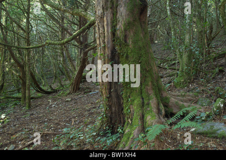 Yew forest (Taxus baccata) - Stock Photo
