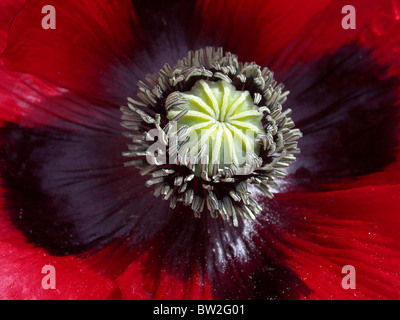 Oriental poppy abstract pattern image of structure of flower centre - Stock Photo