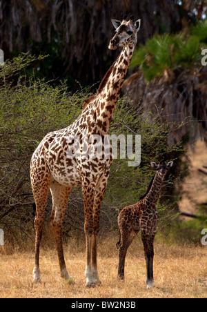 mother and young MAASAI GIRAFFE ( Giraffa camelopardalis tippelskirchi ) Selous National Park Tanzania - Stock Photo