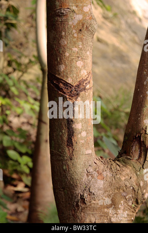 Rubber tree at Eden Project Cornwall UK - Stock Photo