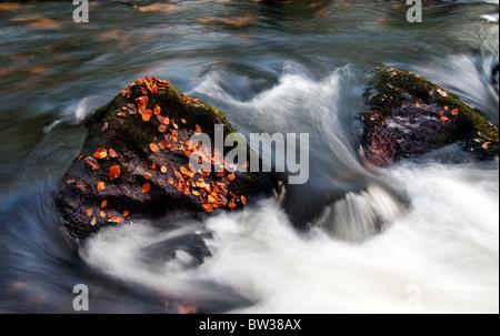 Fallen Autumn leaves at Golitha Falls on the River Fowey near Liskeard, Cornwall - Stock Photo