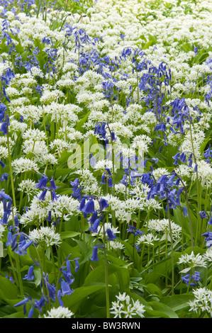 Wild garlic Allium ursinum on chalkland - Stock Photo