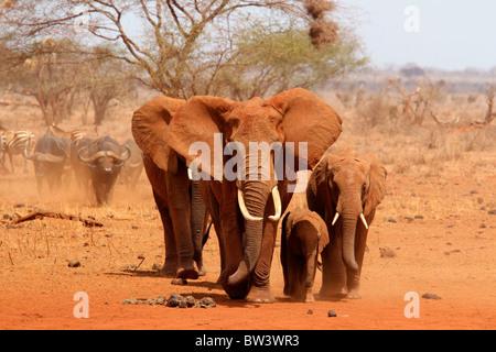 Group of elephants walking - Stock Photo