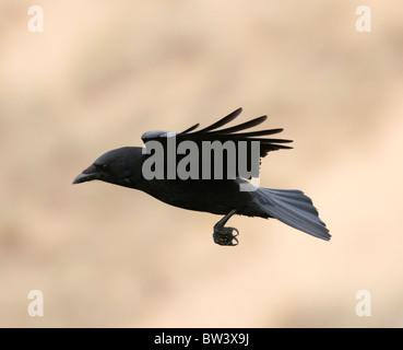 Carrion Crow (Corvus Corone) in flight - Stock Photo