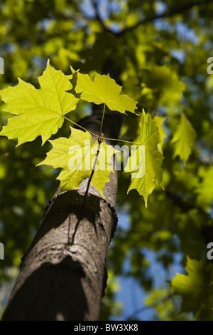 Close-up of backlit maple tree leaves in springtime, Laval, Quebec, Canada - Stock Photo