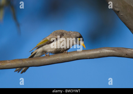 Noisy Miner (Manorina melanocephala) - Stock Photo