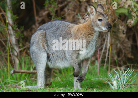 Red-necked Wallaby (Macropus rufogriseus) in Grampians National Park, Australia - Stock Photo