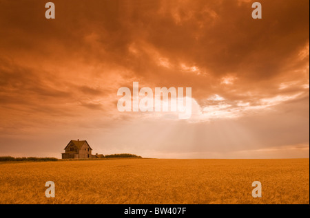 Abandoned farm in durum wheat field, near Assiniboia, Saskatchewan, Canada - Stock Photo