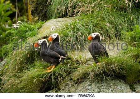 Trio of Tufted Puffins Perched on Cliffside, Alaska Maritime National Wildlife Refuge Near Lake Clark National Park, - Stock Photo