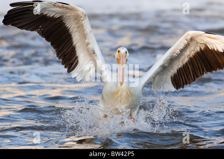 American white pelican landing on the Red River, Lockport, Manitoba, Canada - Stock Photo