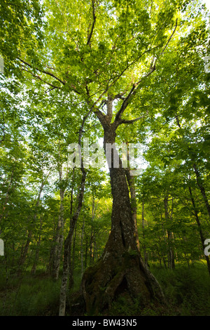 Old growth sugar maple tree near sunset in forest at Island Lake, Nova Scotia - Stock Photo