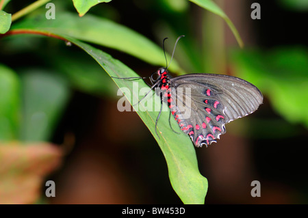 Pink Spotted Cattleheart Butterfly Parides photinus at Stratford Butterfly Farm, Stratford-upon-Avon, Warwickshire, - Stock Photo