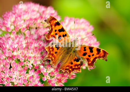Comma Butterfly (Polygonia c-album) photographed in Calderstones Park, Liverpool, Merseyside, England, United Kingdom - Stock Photo