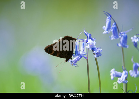 Peacock Butterfly, Inachis io, resting on bluebells. Lake District, UK. - Stock Photo