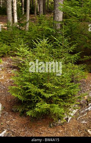 Seedling conifer trees, Pretty Marsh, Acadia NP, Maine, USA - Stock Photo