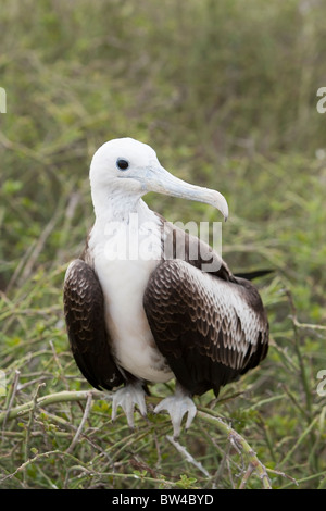 Magnificent Frigatebird (Fregata magnificens) juvenile on North Seymour Island, Galapagos. - Stock Photo