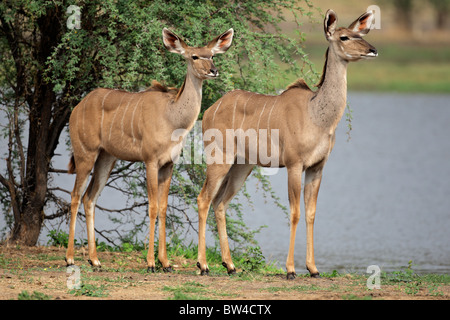 Two female kudu antelope (Tragelaphus strepsiceros), South Africa - Stock Photo