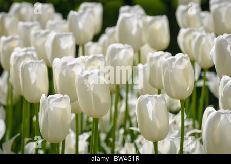 Colorful tulip flowers blooming in spring. - Stock Photo