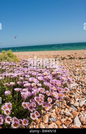 Beach Aster (Erigeron glaucus or Sea Breeze) flowering in Shoreham England