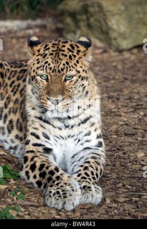 Amur Leopard - (Panthera pardus orientalis) - Stock Photo
