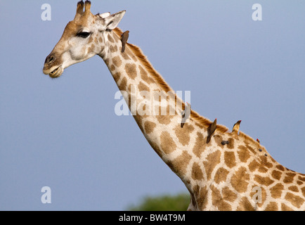 Giraffe (Giraffa camelopardis) with red-billed oxpeckers (Buphagus erythrorhyncus) on its neck - Stock Photo