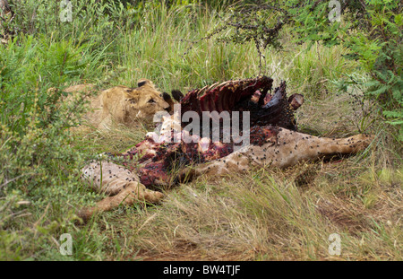 Young lion (Panthera leo) feeding on the decomposing carcass of a giraffe (Giraffa camelopardis) which is covered - Stock Photo