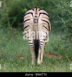 Plains zebra (Equus quagga) formerly known as Burchell's zebra (Equus burchelli) with red-billed oxpeckers on its - Stock Photo