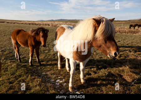 Icelandic horses, Iceland. - Stock Photo