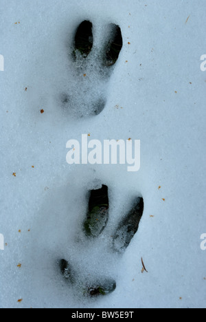 footprints in the snow hare - Stock Photo