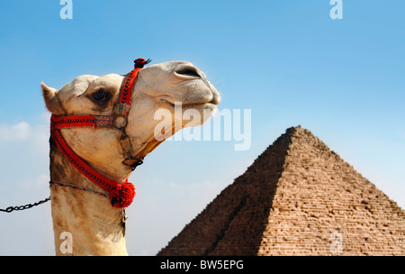 Camel with a Pyramid in background - Stock Photo